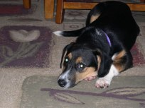 Not quite sure of her new family and new surroundings, Chloe spent the first hour beneath our dining room table. (Jan. 6, 2010)