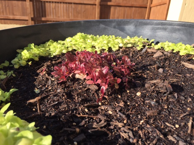 Eagerly awaiting what the lettuce is going to look like after another week of daytime highs in the 50s, 60s and 70s.