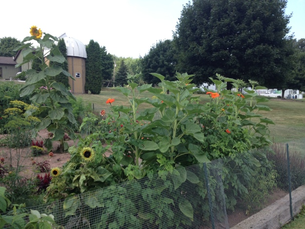 Mexican sunflowers dotted one of the sides of my 2014 garden.