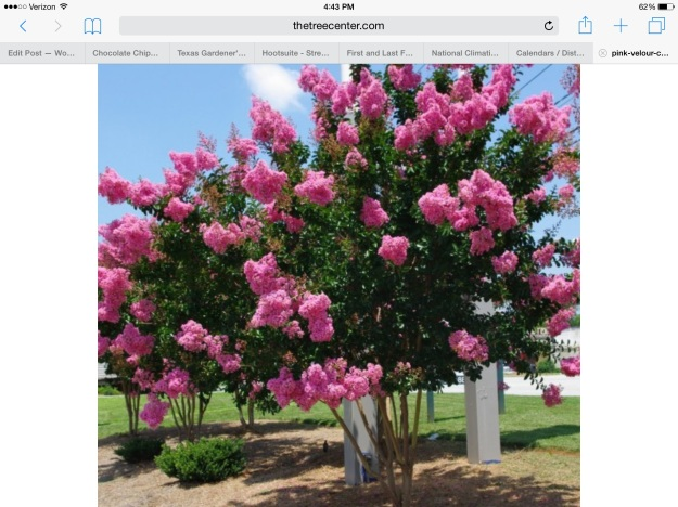 A pink velour crape myrtle tree. From thetreecenter.com