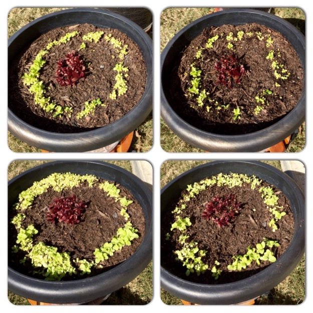 The photos on the left shows each container of lettuce before thinning, the right after thinning.
