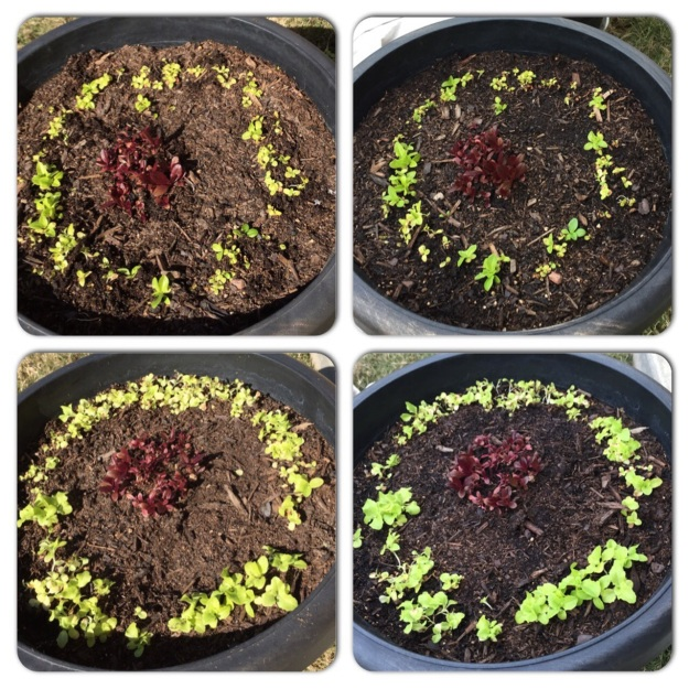 On the left is lettuce Feb. 14, after it was thinned. On the right, the lettuce this morning.