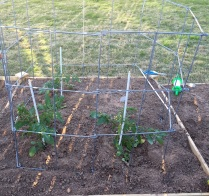 I staked the three bigger tomatoes tonight. Thursday's gusty wind had them tilting sideways.