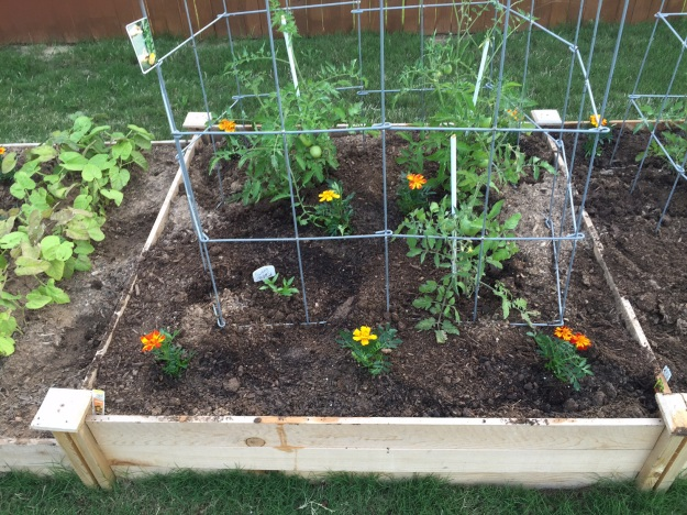 Tomato bed dotted with marigolds.