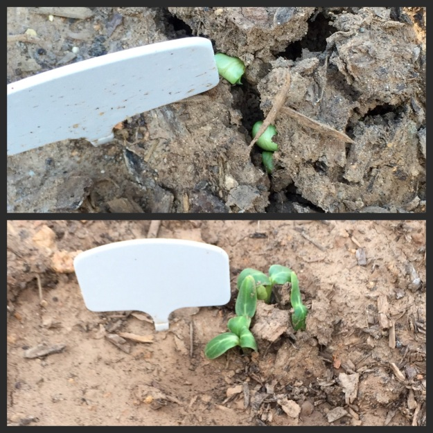 Top photo, cucumbers last night. Bottom photo, cucumbers tonight, April 3.