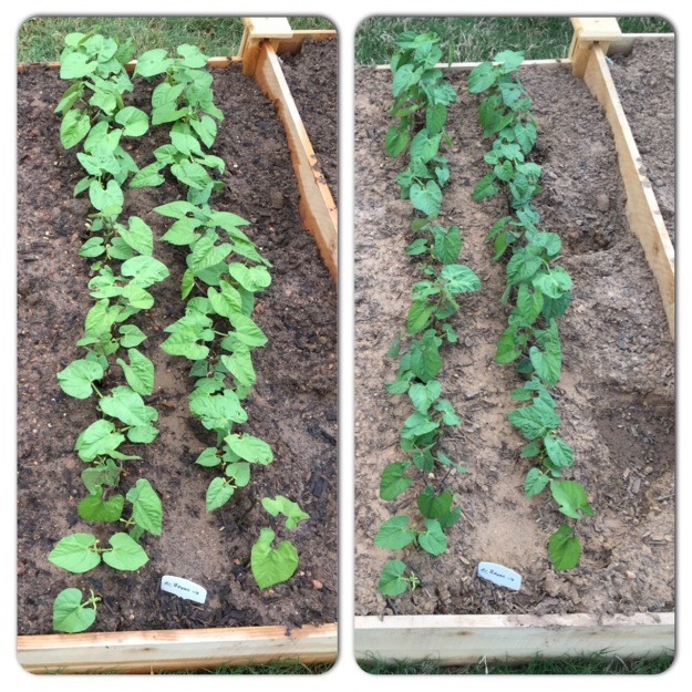 At left, the beans tonight, April 5.  At right, from April 3.