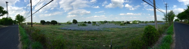 A panoramic view of the lovely bluebonnets.