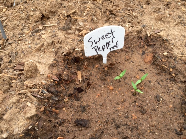Finally! The sweet red peppers have sprouted.