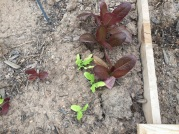 Whaddya know? Some of the red lettuce appears to be growing!