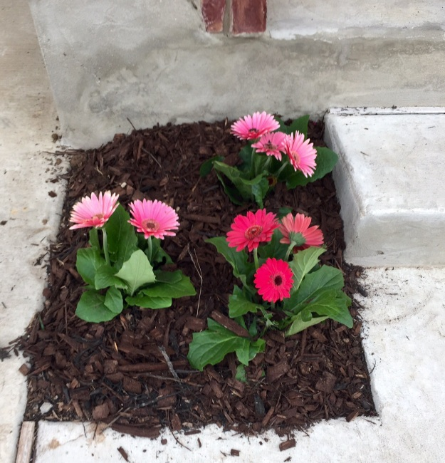 Pretty Gerbera daisies, transplanted in early April.