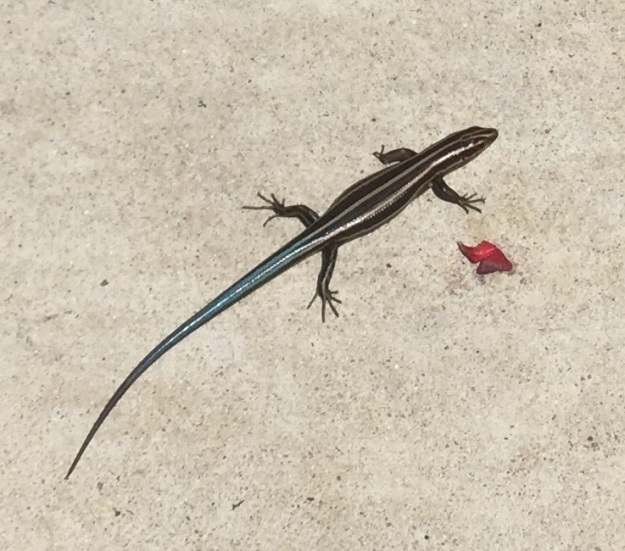 Is this a Laredo striped whiptail lizard?