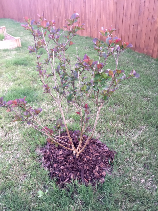 The pink velour crape myrtle.