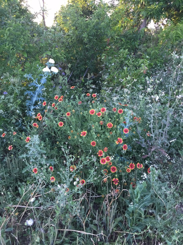 According to my Wildflowers of Central Texas guide, these orange and yellow flowers are firewheels.