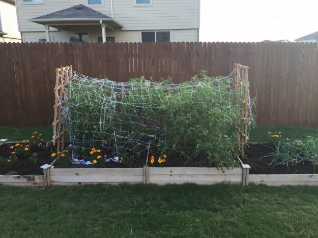 The netting around my tomatoes looks like a huge spider web.