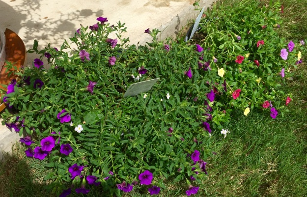 But if the petunias don't make it through the week, these Trixis are ready to take their place.
