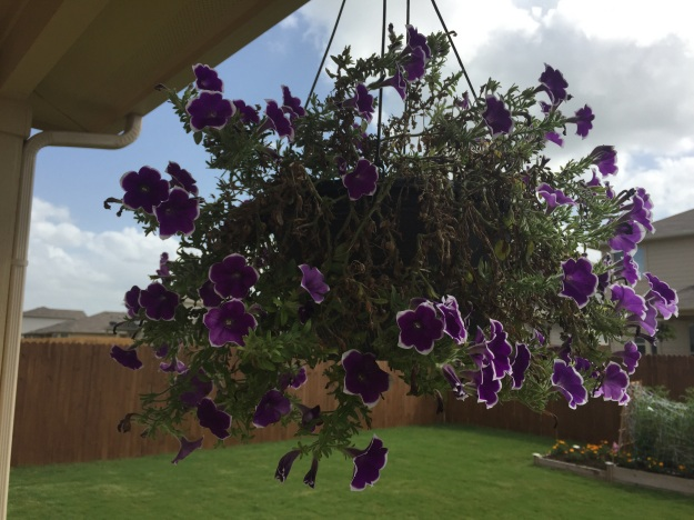 I love the purple wave petunias, but they're taking a beating from the wind.