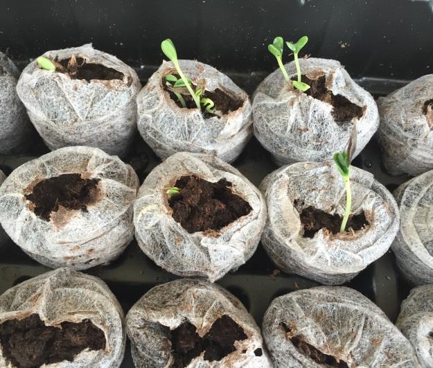 The purple zinnias are sprouting!