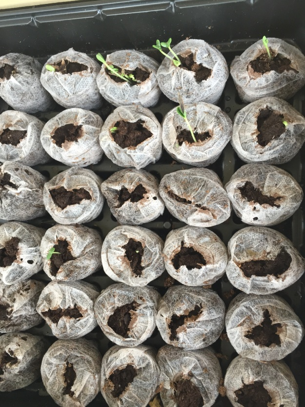 In addition to the purple zinnias sprouting in the upper right, several of the pinwheel zinnia seeds (in fourth row) also are peeking out of the peat pellets.
