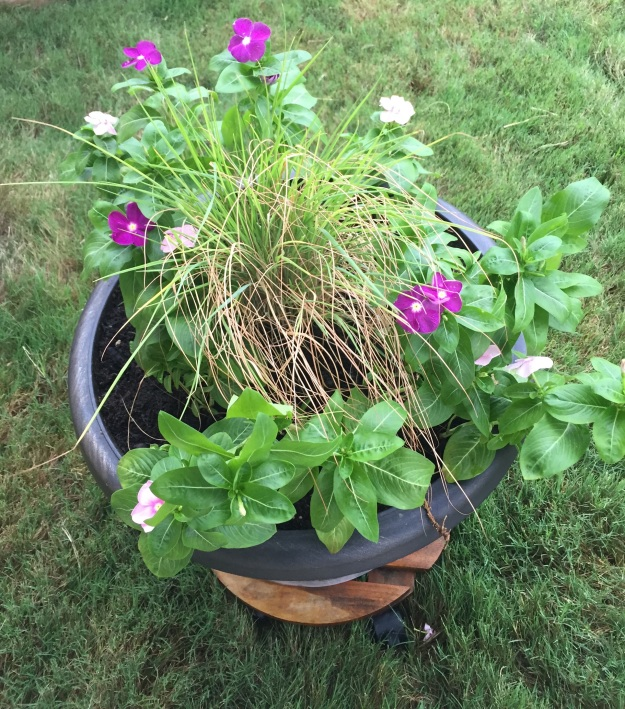 The vincas have recovered nicely after being transplanted into this container.