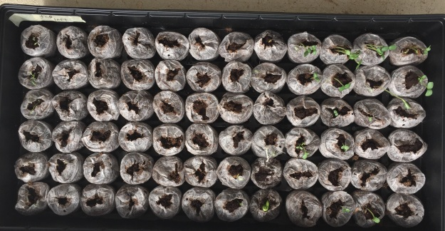 Red cherry tomato seedlings (far left) and pumpkin seeds ( bottom row, middle) popped up three days after being planted.