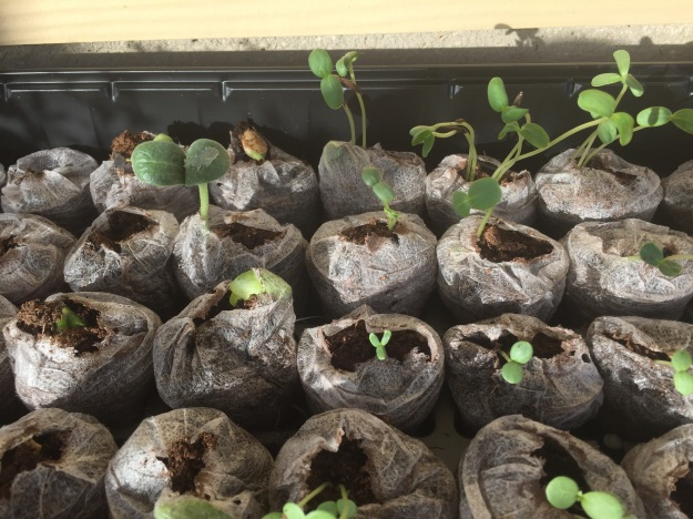 Day 4: Zinnias have sprouted in every one of the peat pellets they were planted in.