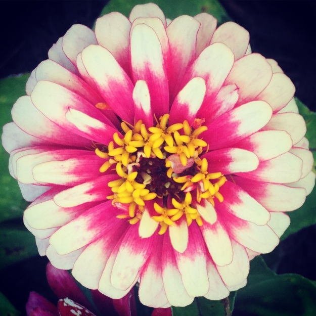 What I call a frosted zinnia.