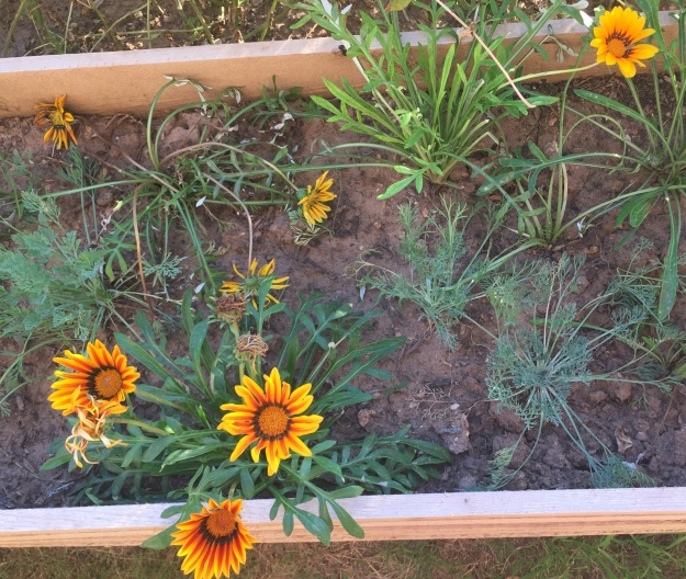 Many gazanias now flowering.