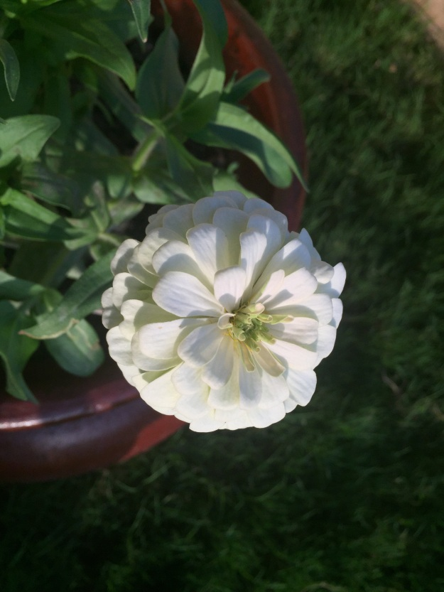 Love how the evening light hits the white zinnias.
