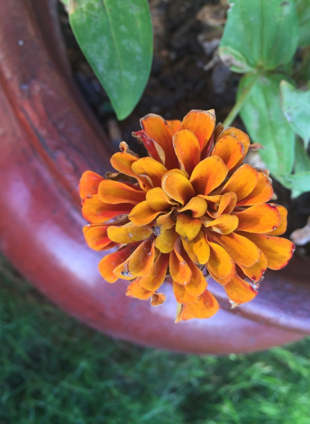 For some reason, the color of this zinnia reminds me of fall. Even though it was in the upper 90s today.