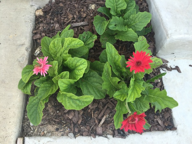 For at least the third time in as many months, the Gerbera daisies in front of my house are flowering.