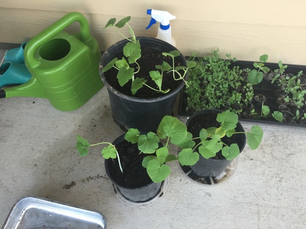 A week after being transplanted into containers, the pumpkins are doing well.