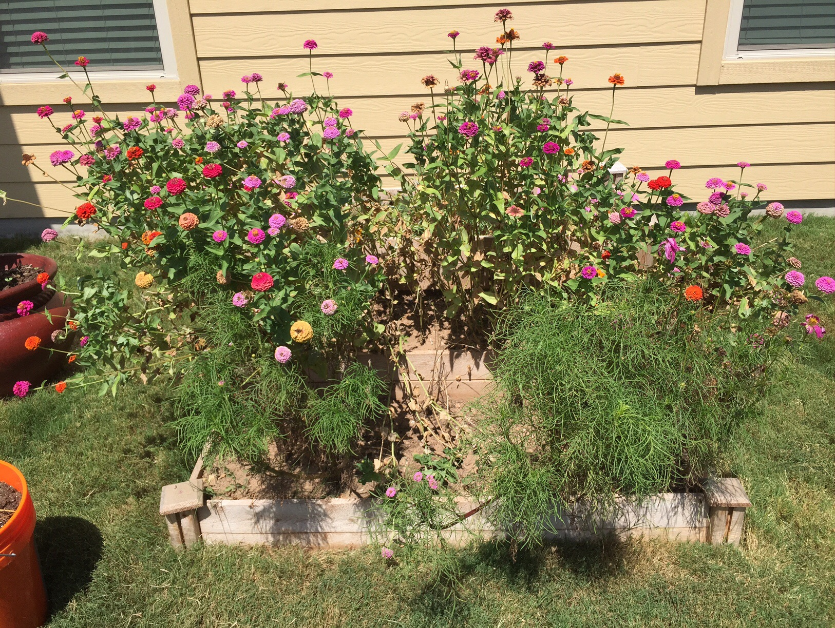2015_Day 204: Cleaning out the zinnias