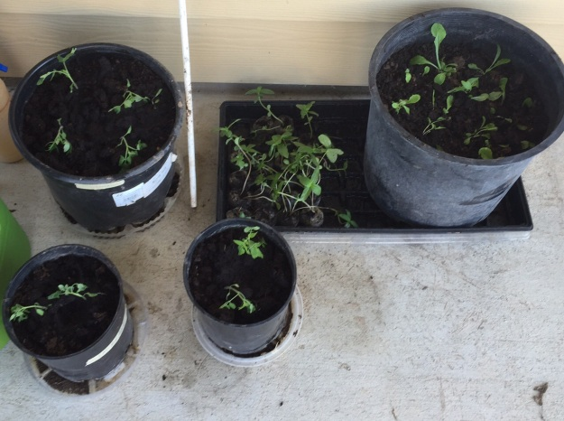 Tomatoes (three pots at left) and lettuce (right) finally got a new, bigger home.