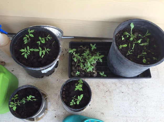 About two hours after being transplanted into pots, tomates and lettuce looked a little less wilted.