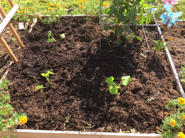 Three pumpkin plants now share a raised bed with several green pepper plants and a few marigolds.