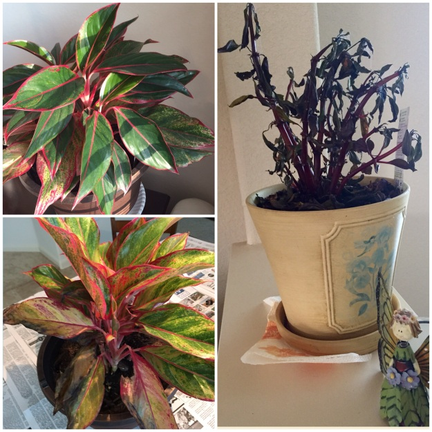 I replanted a struggling aglaonema (lower left) in January. Almost seven months later, it's strong and beautiful (upper left). On the other hand, I'm afraid my impatiens (right) is nearing its end.