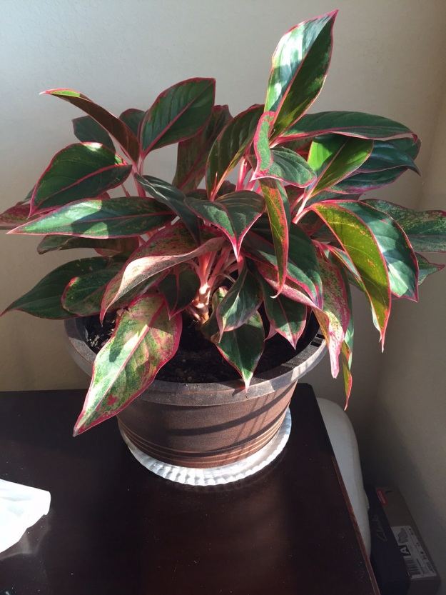 This aglaonema is a great addition to a corner of our master bedroom.