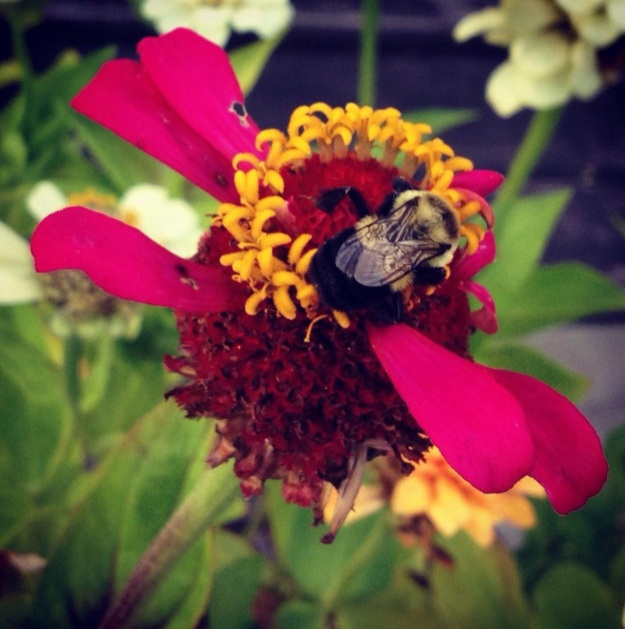 A bumble enjoys a zinnia in my Wisconsin garden in 2013.