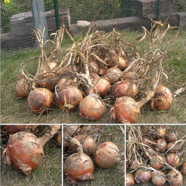 My onion harvest on Sept. 18, 2011.