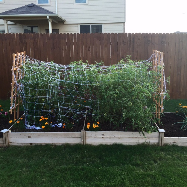 Used netting and pie tins to scare the birds away from the tomatoes in June. It helped, but it was a little too late.